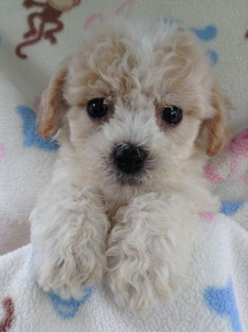 Tiny Toy Maltese Poodle Puppies Dogs Puppies For Rehoming