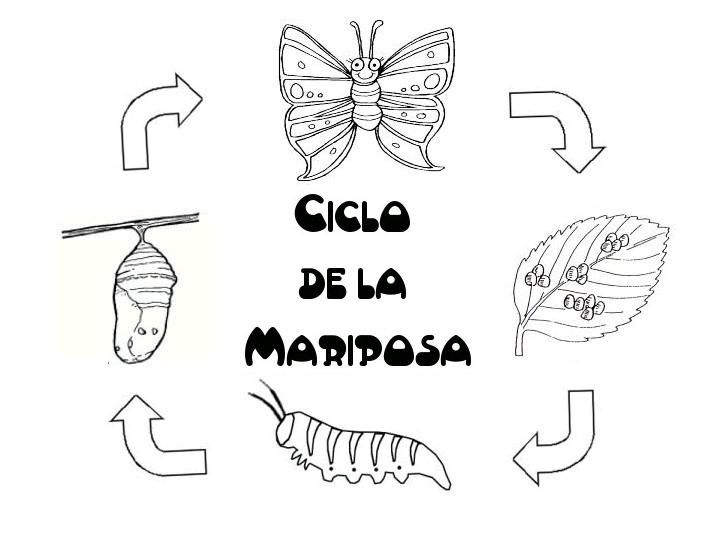 Ciclo+vital+de+la+Mariposa+(3).jpg 720×540 píxeles | Mariposas ...