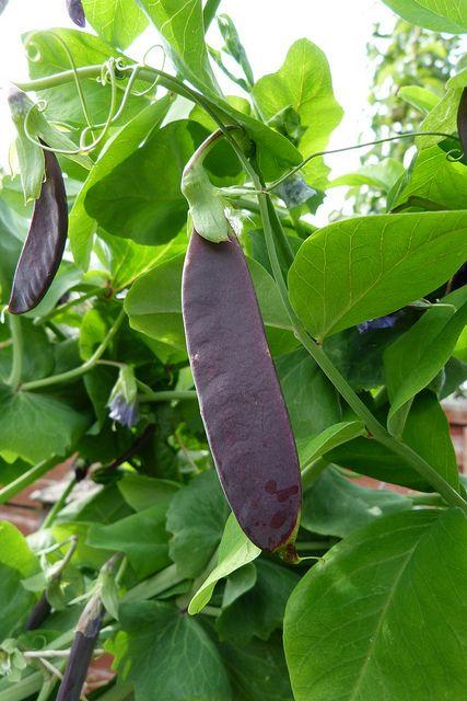 Purple Mangetout Shiraz Pea Plant Planting Vegetables Plant Leaves