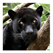 Symbolic Adoption Adoption Center Shop Nwf Shopnwf Org National Wildlife Federation Black Jaguar Animals