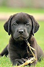 When Do Dogs Stop Growing? Labrador Puppy Growth Chart And FAQ | Labrador  puppy, Labrador, Puppies
