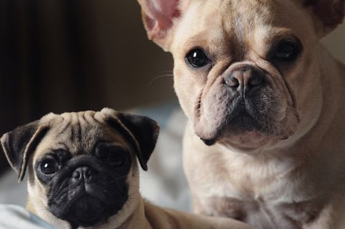 The Two Doggies I Want A Pug And A Frenchie Dog Insurance French Bulldog Bulldog