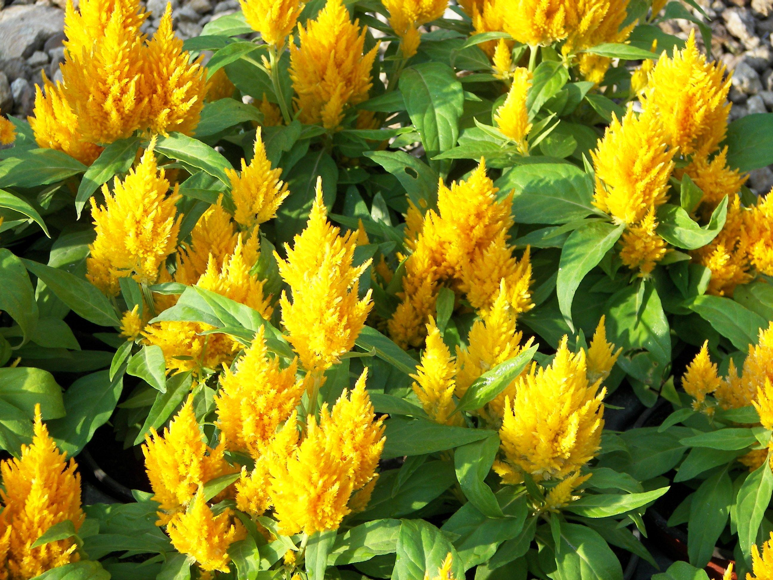Kimono Yellow Celosia Celosia Flower Flower Seeds Flowers