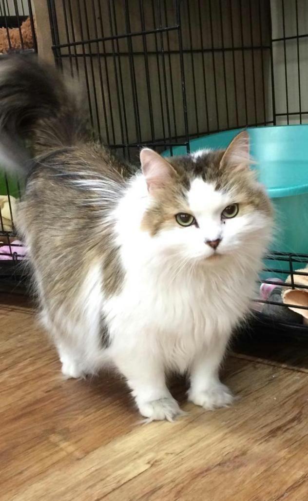Persian Cat Rescue Pa
