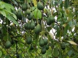 avocado trees u2014 can avocado trees be saved from root rot - Grow An Avocado