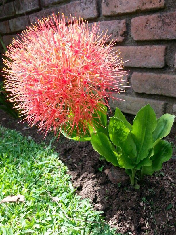 Borla de Brasil de mi jardín!