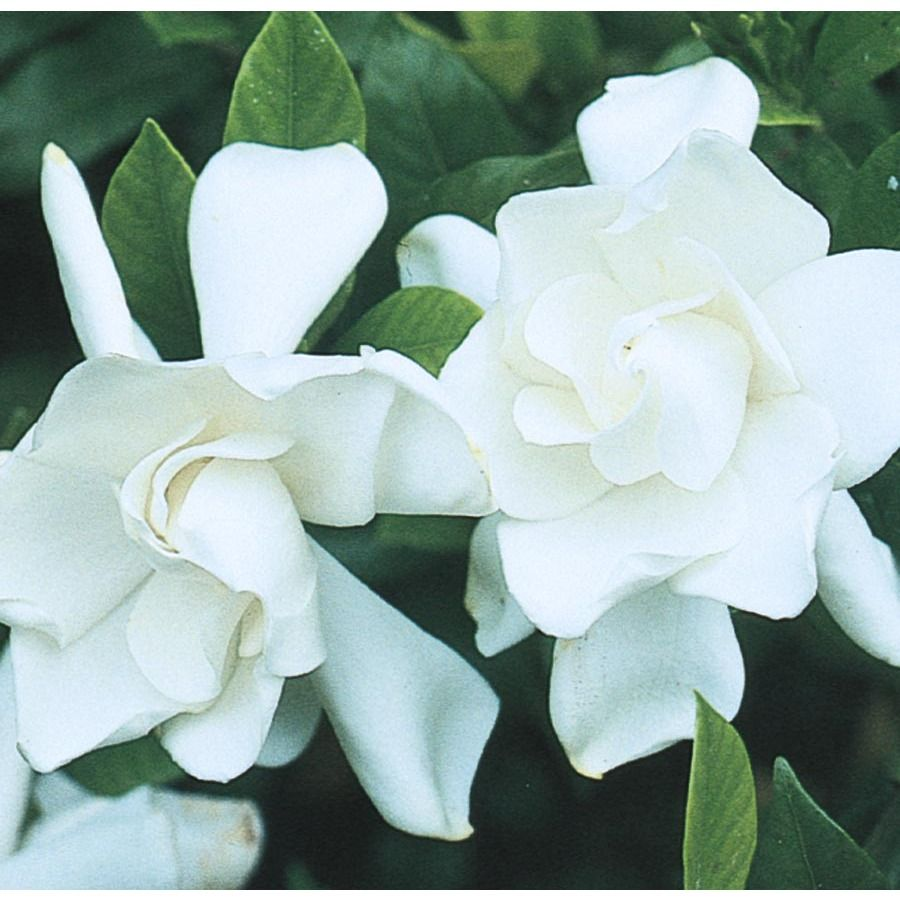 Shop 1 5 Gallon White Frost Proof Gardenia Lw00231 At Lowes Com