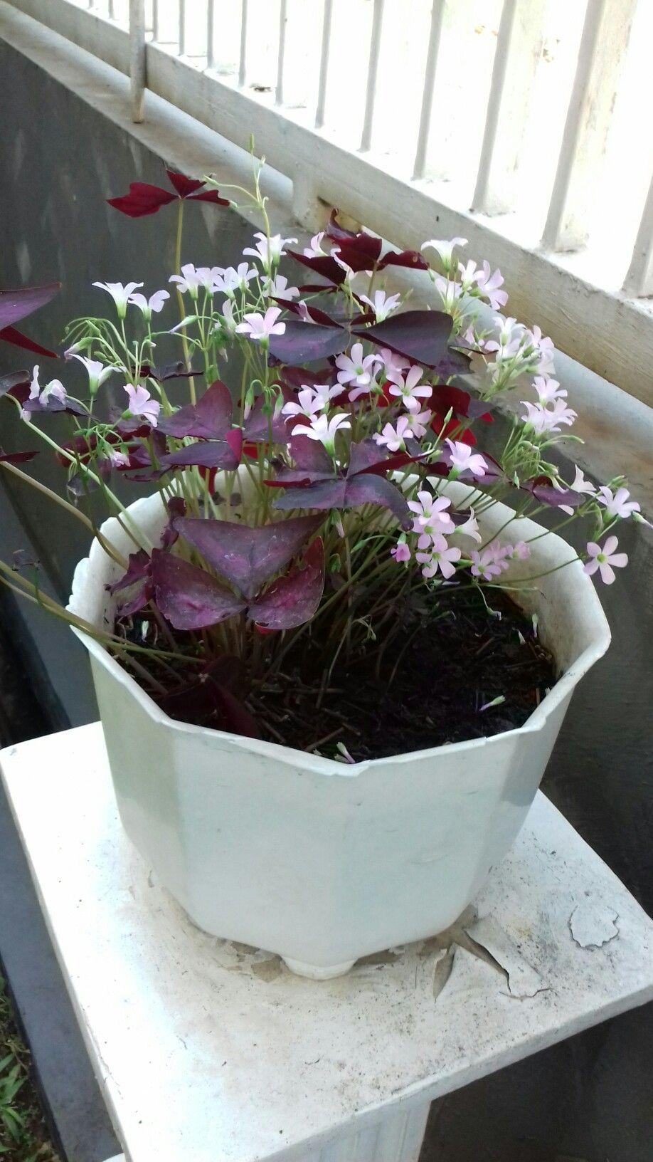 Gambar Bunga Kupu Kupu : gambar, bunga, Bunga, Purple, Shamrock, #purpleshamrock, Shamrock,, Garden, Landscaping,, Plants