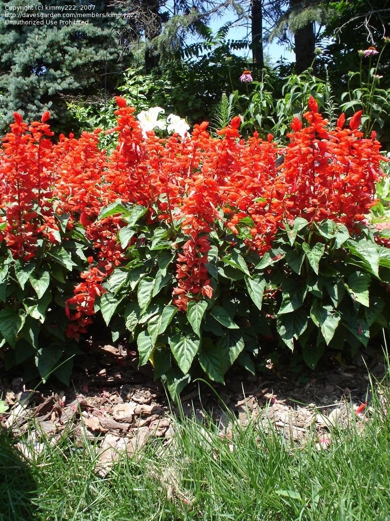 Native Stx Plant Scarlet Sage Salvia Red Flare