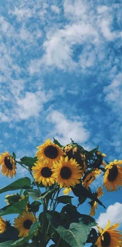 2019 的 30+ Super Pretty Sunflower iPhone Wallpapers