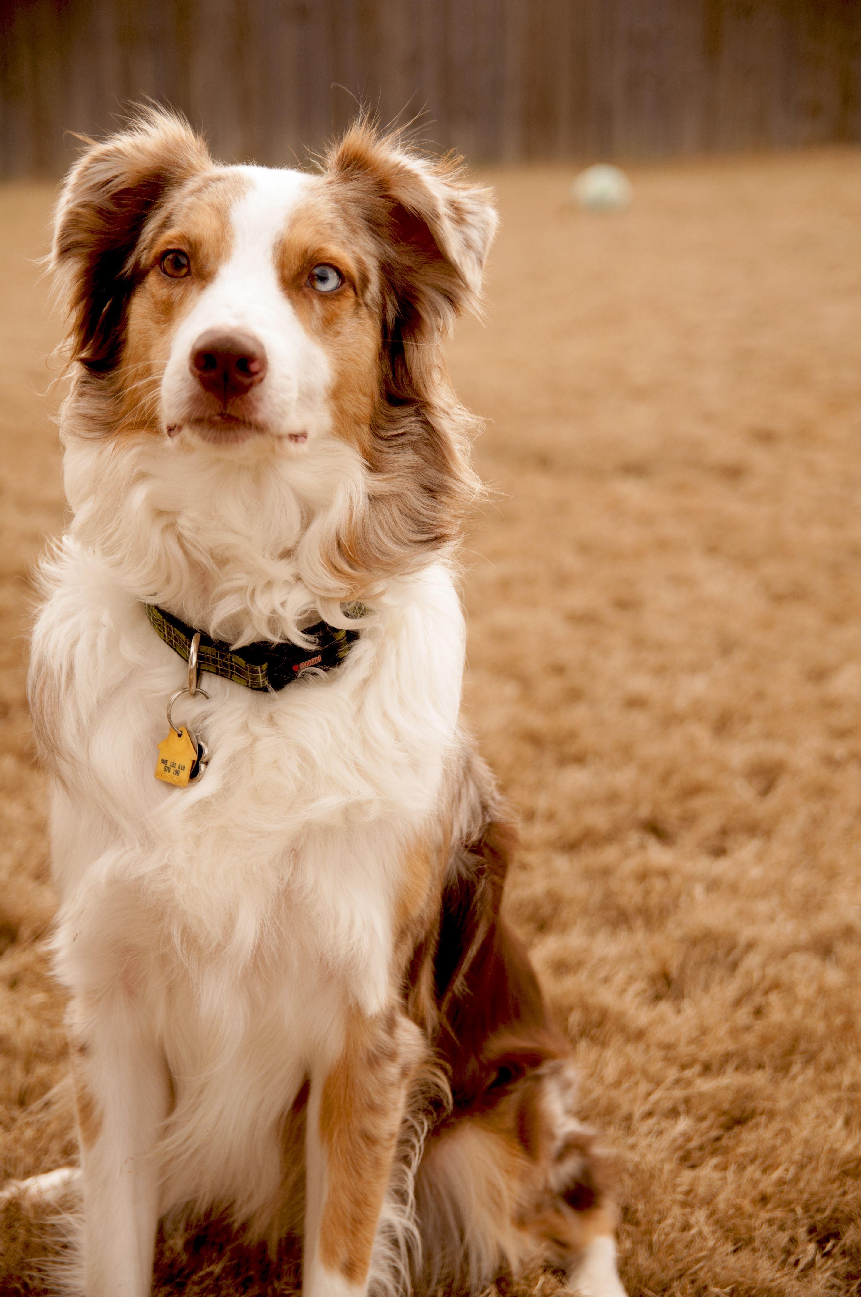 Dusty Trigger 3 Year Old Australian Shepherd Aussie Puppy