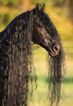 Friesen Sind Bekannt Fur Ihre Lange Und Kraftige Mahne Dieses Pferd Hat Eine Besonders Schone Und Wellige Mahne Apas Pferde Pferde Und Hunde Pferde Frisuren