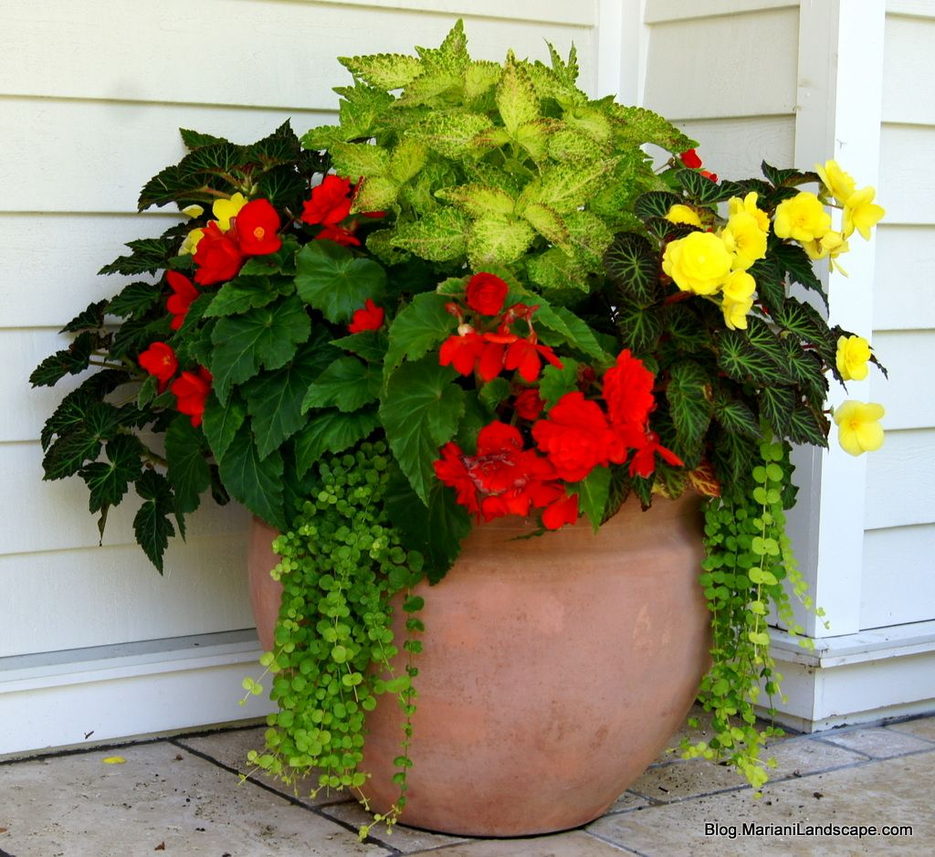 orange and yellow begonia with electric lime coleus and creeping part of our series on