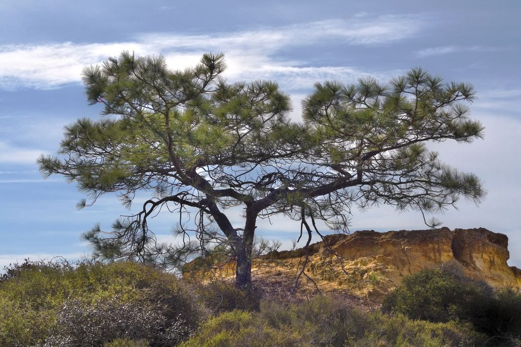 Torrey Pine | Torrey pines, Native plants, Torrey pines ...