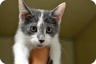 Philadelphia, PA - Domestic Shorthair. Meet Miai, a kitten for adoption. http://www.adoptapet.com/pet/14303003-philadelphia-pennsylvania-kitten