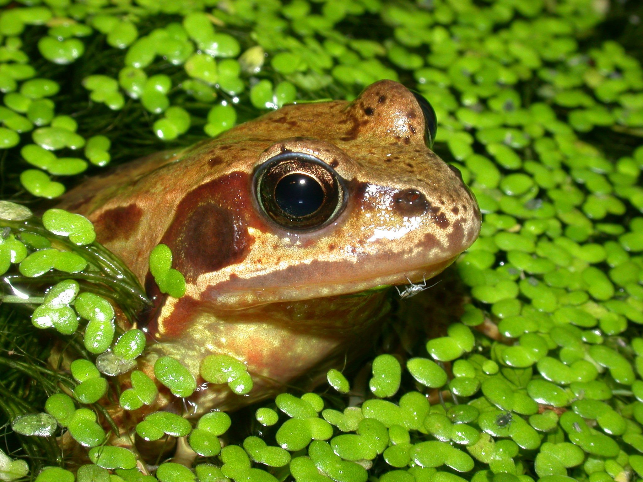 river frog and tadpoles Google Search Common frog