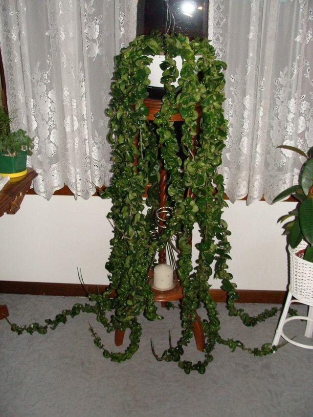 My Hoya Hindu Rope House Plants Forum Gardenweb Hoya