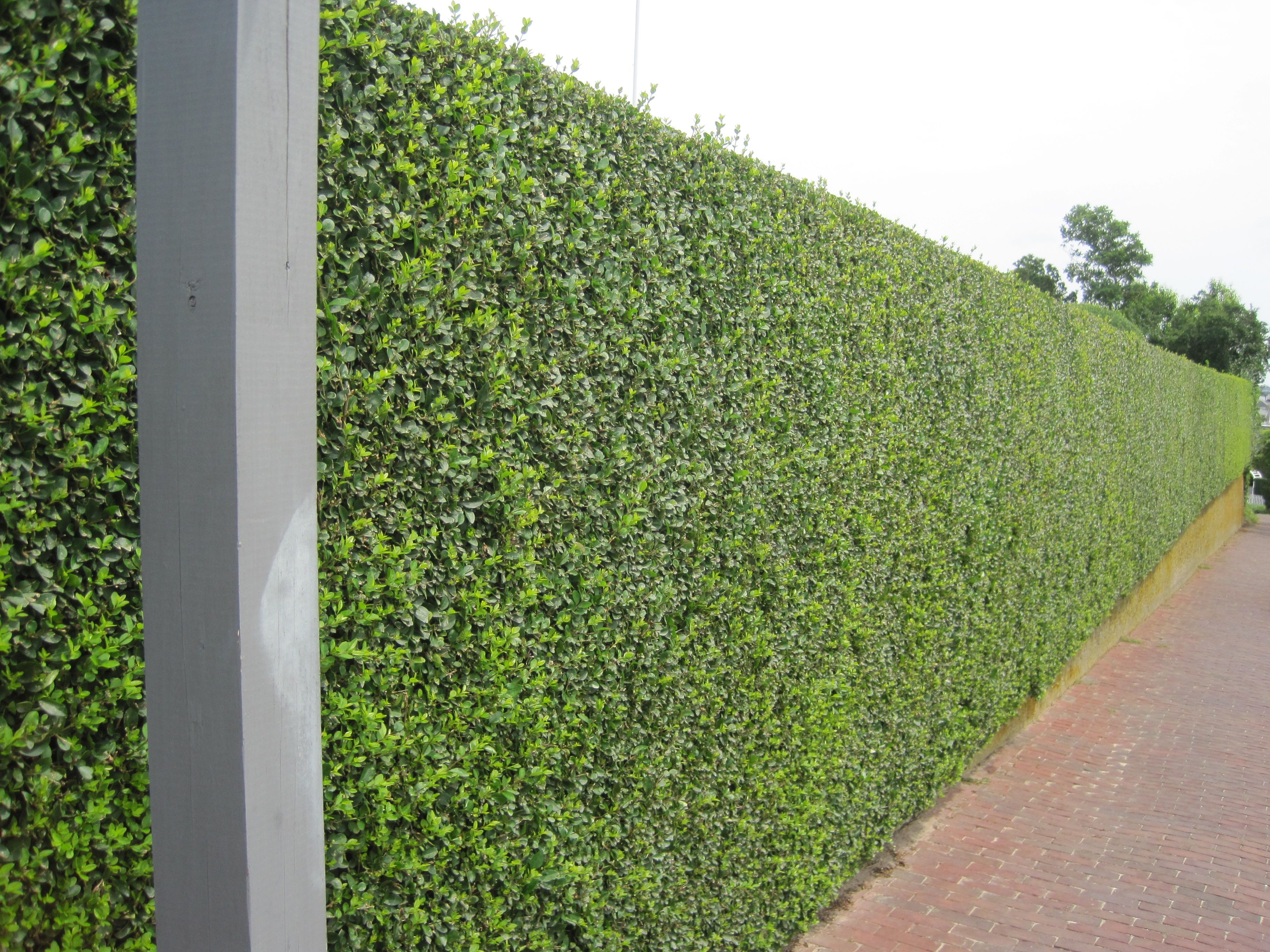 hedged walls hedge u2013 some of it rising from the top of a stone