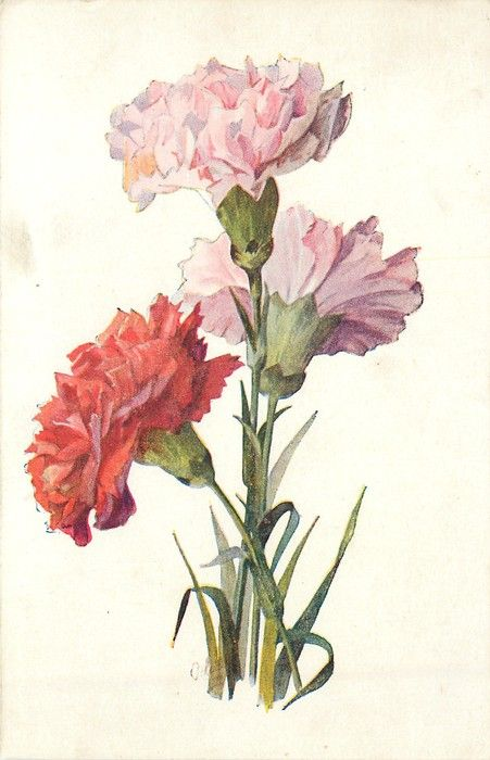 Pink Red Carnations Carnation Drawing Watercolor Flowers Flower Illustration