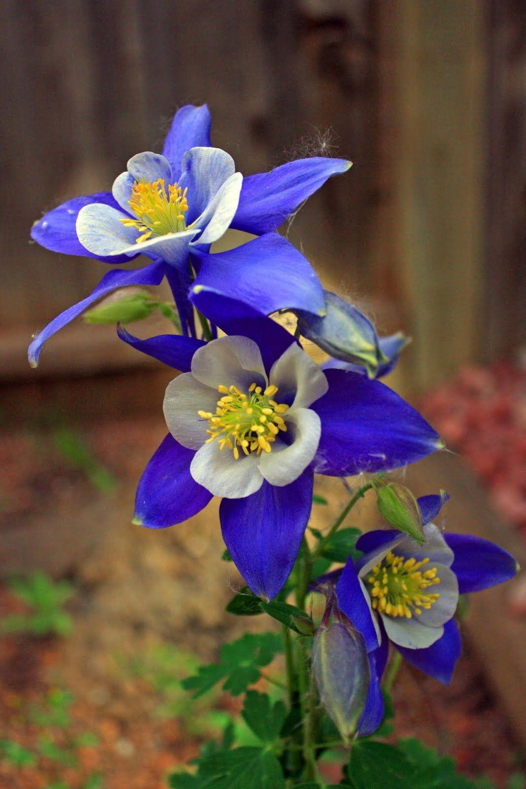 Colorado Columbine Bellas Plantas Pinterest Columbine Flower