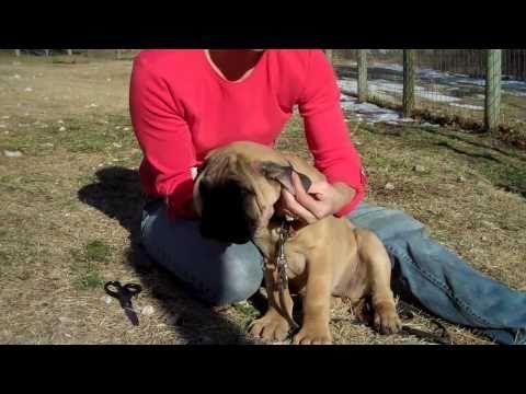 Taping Bullmastiff Ears Bull Mastiff Mastiffs Dogs