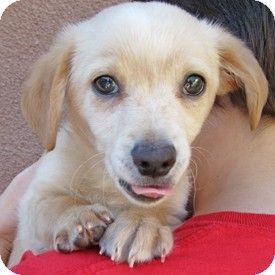 Pet Not Found Kitten Adoption Puppy Adoption Dachshund Mix