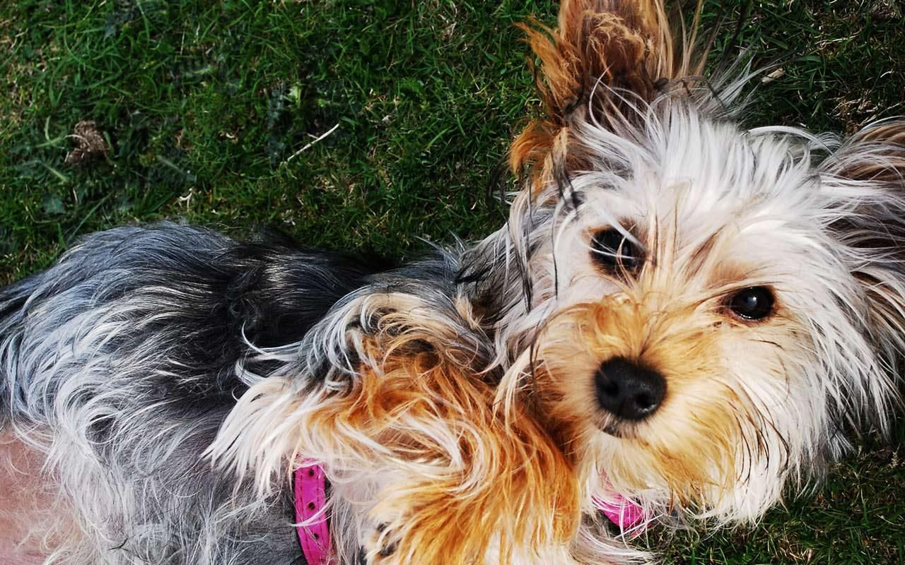 As Well As Their Bravado Comes A Fantastic Deal Of Affection Specifically From Yorkshire Terrier Puppies W Dog Breeds Yorkshire Terrier Yorkshire Terrier Dog