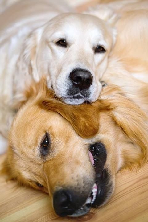 White English Cream Golden Retriever And An American Golden