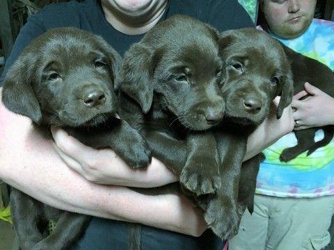 Labrador Retriever Puppy For Sale In Griffin Ga Adn 35880 On Puppyfinder Com Gender Female Age 10 Weeks Old Labrador Retriever Retriever Puppy Labrador