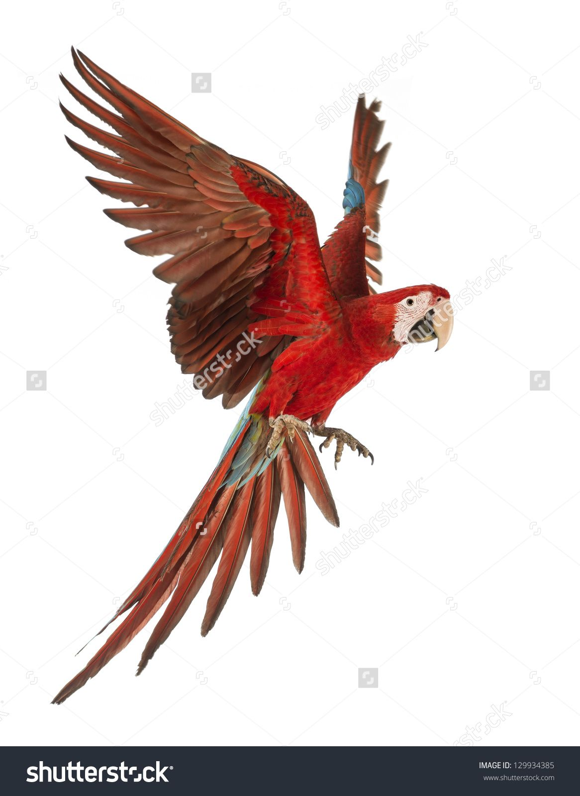 Green-Winged Macaw, Ara Chloropterus, 1 Year Old, Flying In Front Of ...