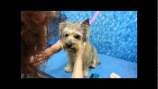 Youtube Cairn Terrier Wire Fox Terrier Dog Grooming Styles