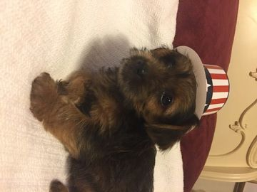 Litter Of 3 Yorkshire Terrier Puppies For Sale In Frederick Md