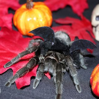 Tarantula Bat Halloween Costume Spiderhood Bat Halloween
