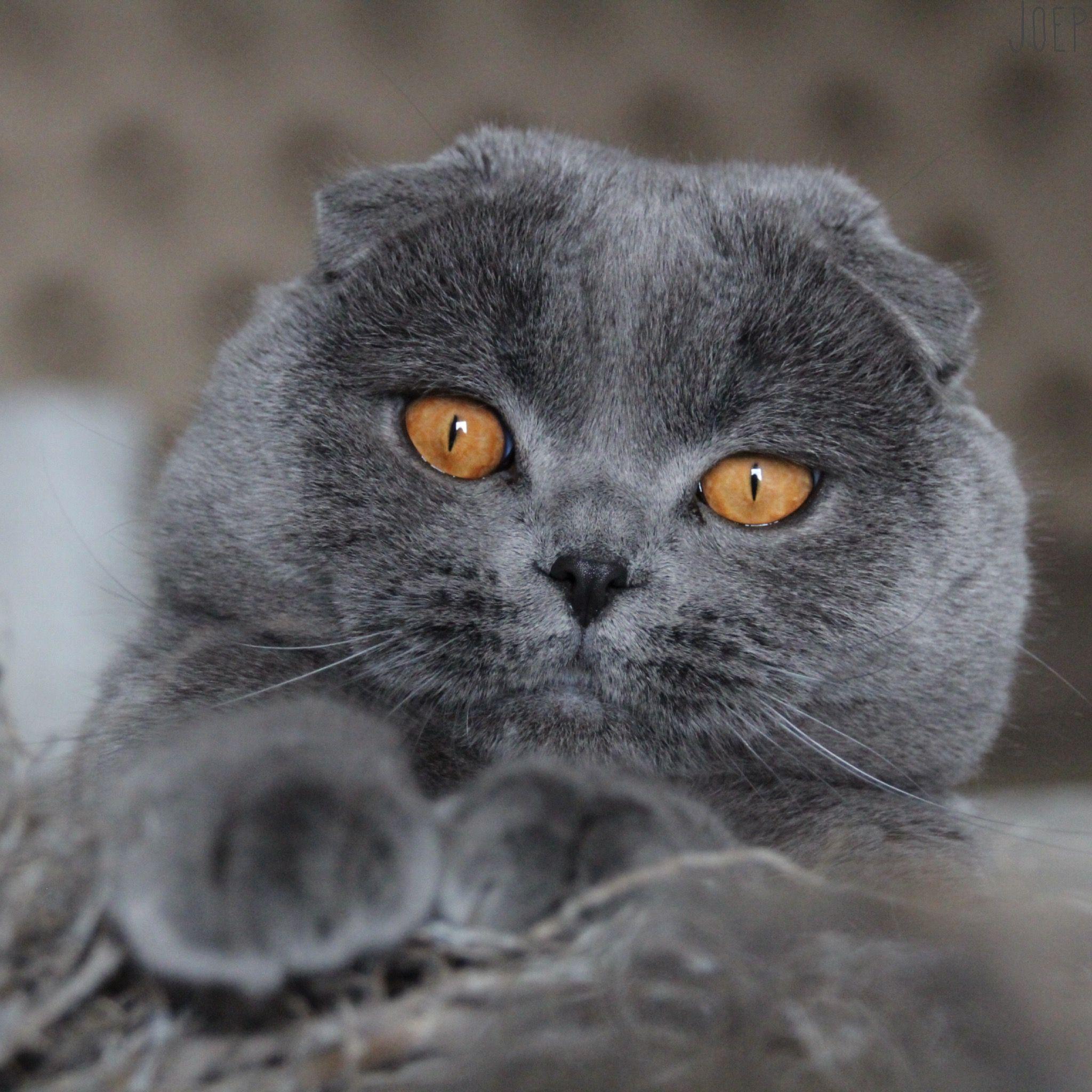 модели, которые фото кошек шотландцев вислоухих здесь они такие