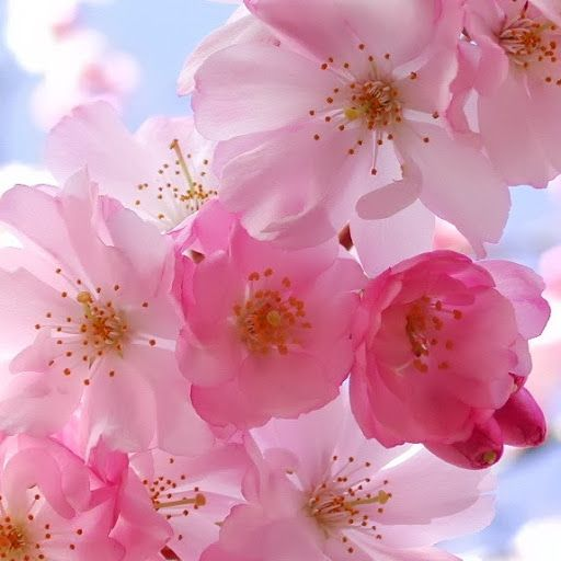 Cherry Blossom Nature Landscape Beautiful Nature