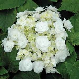 Wedding Gown Double Delight Hydrangea Double Delights Series Also Known As Dancing Snow This Plan White Flower Farm Hydrangea Macrophylla Hydrangeas Wedding