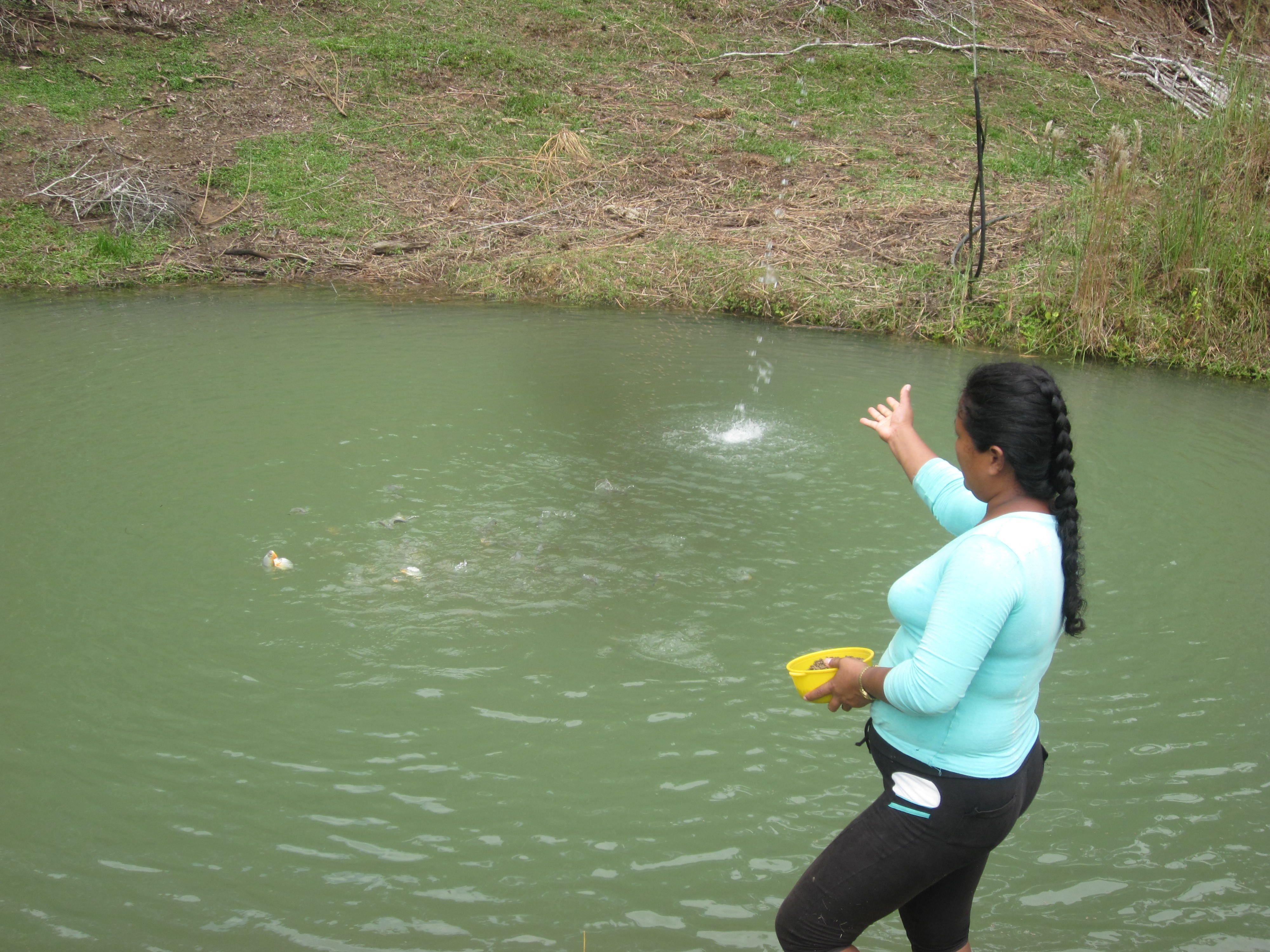 En los estanques esta asociaci n se dedica al cultivo y for Proyecto de tilapia en estanques