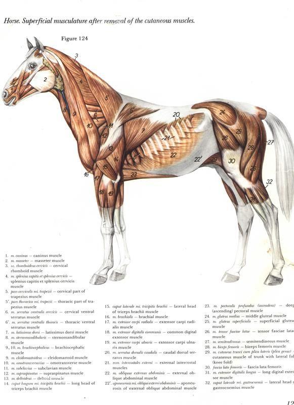 Pin de Nikola Zawadova en Anatomy Horses | Pinterest | Anatomía ...
