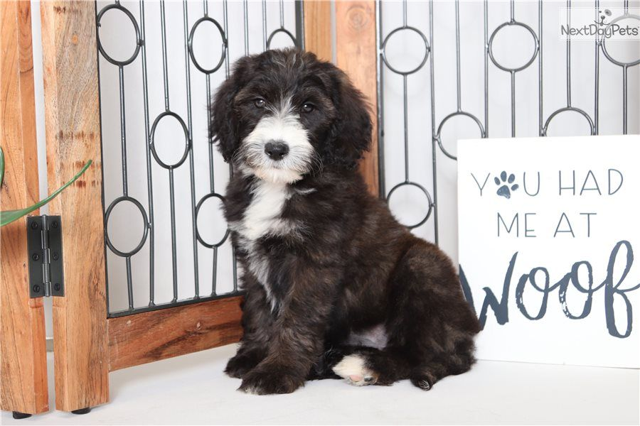 1 500 11 Wks Sheepadoodle Puppy For Sale Near Ft Myers Sw