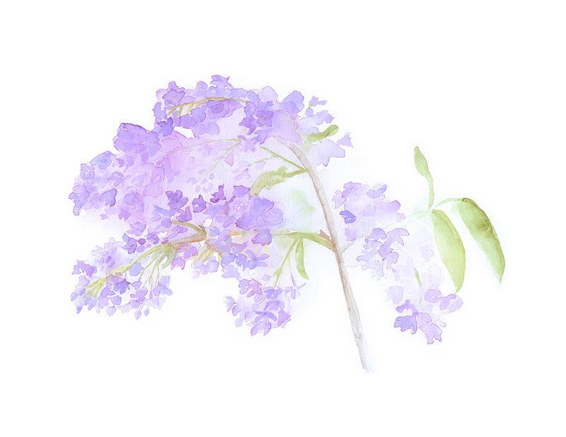 Lilacs watercolor painting lilac mauve purple flowers for Spring flowers watercolor