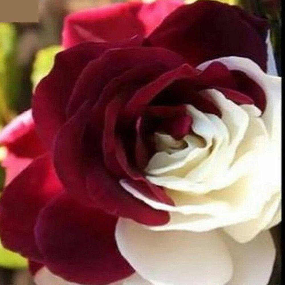Seeds White Rose Flower Home Garden Plants Perennial Seeds Bonsai Plants 100 Pcs