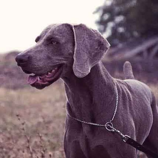 20 Amazing Short Haired Dog Breeds Low In 2020 Short Haired Dogs Large Short Haired Dogs Dog Breeds