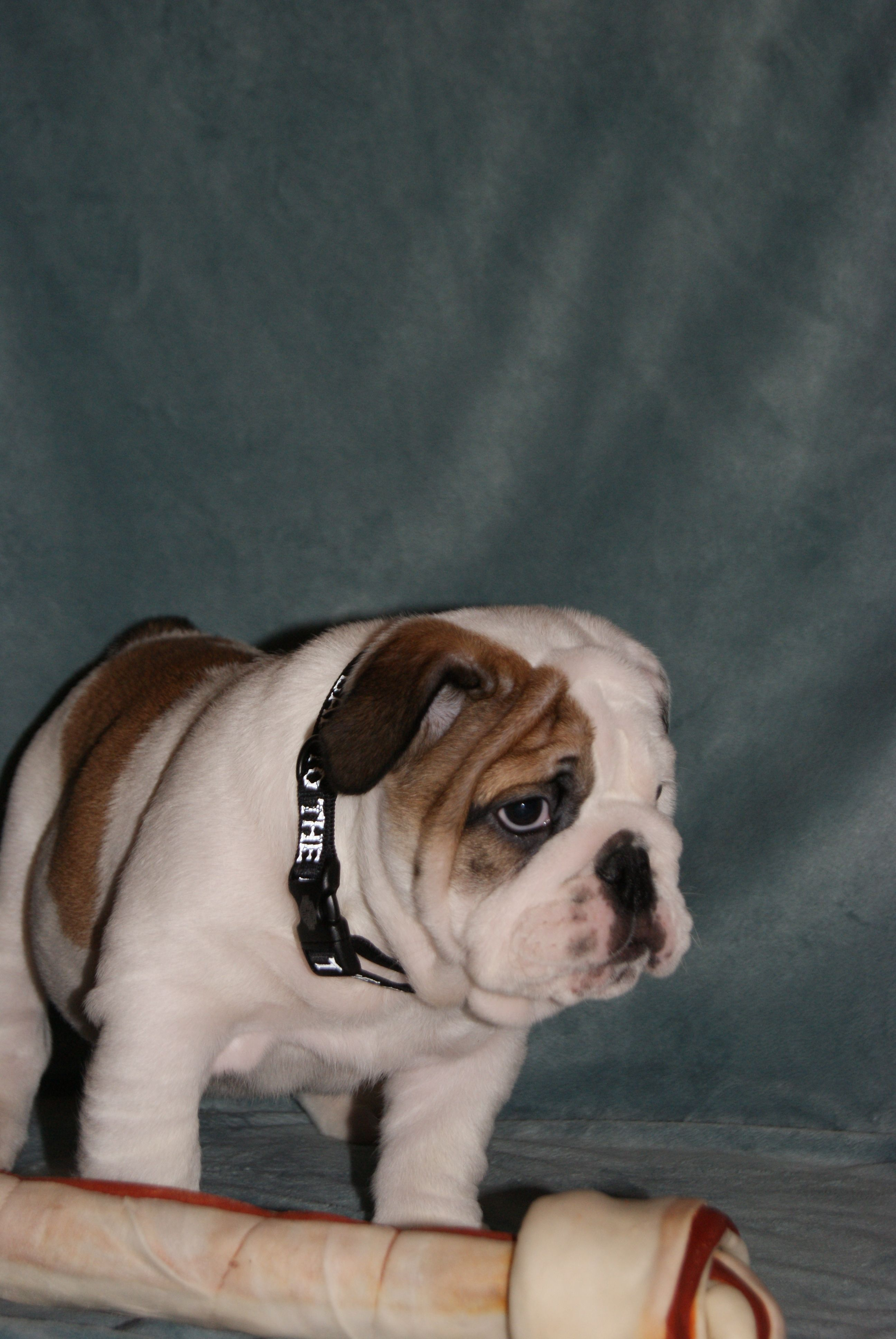 Pin by Hollywood Bulldogs on Cute Puppy Pictures Cute