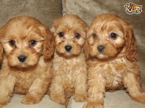 Miniature Schnoodle Plus Extra Speical Puppy Pack Puppies