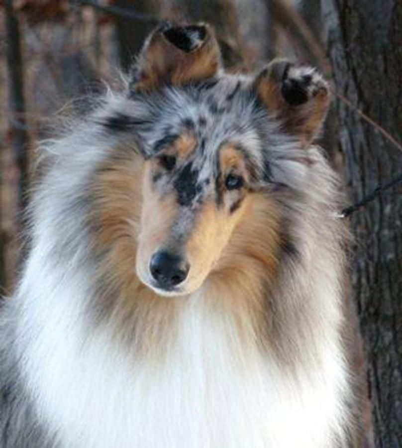 Brightmore Collies Is A Quality Akc Rough Collie Breeder In
