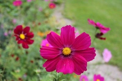 Does Cosmos Need Fertilizer How To Fertilize Cosmos Flowers Cosmos Flowers Cosmos Plant Cosmos
