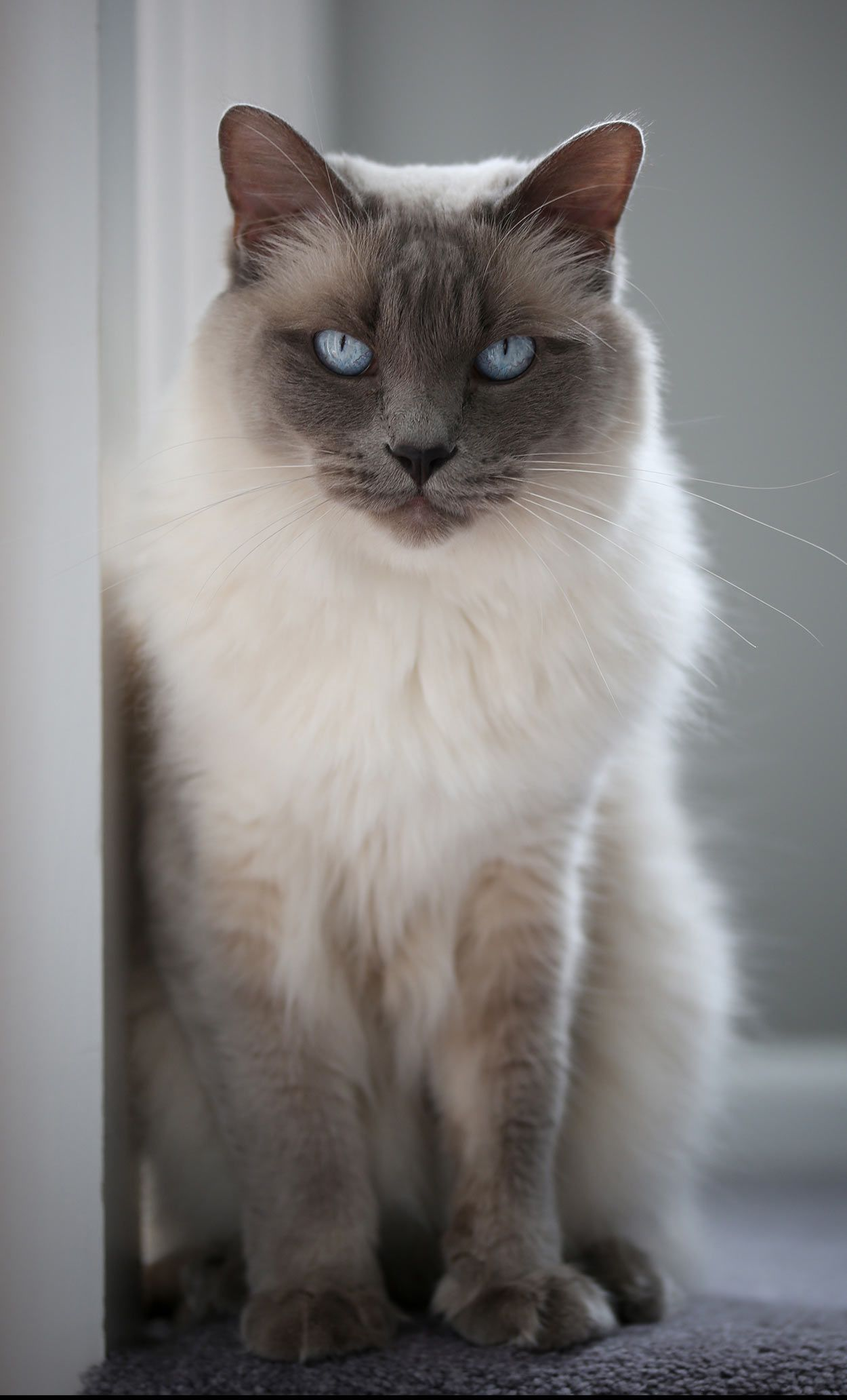 Balinese Cat Names 125 Superb Suggestions Balinese cat