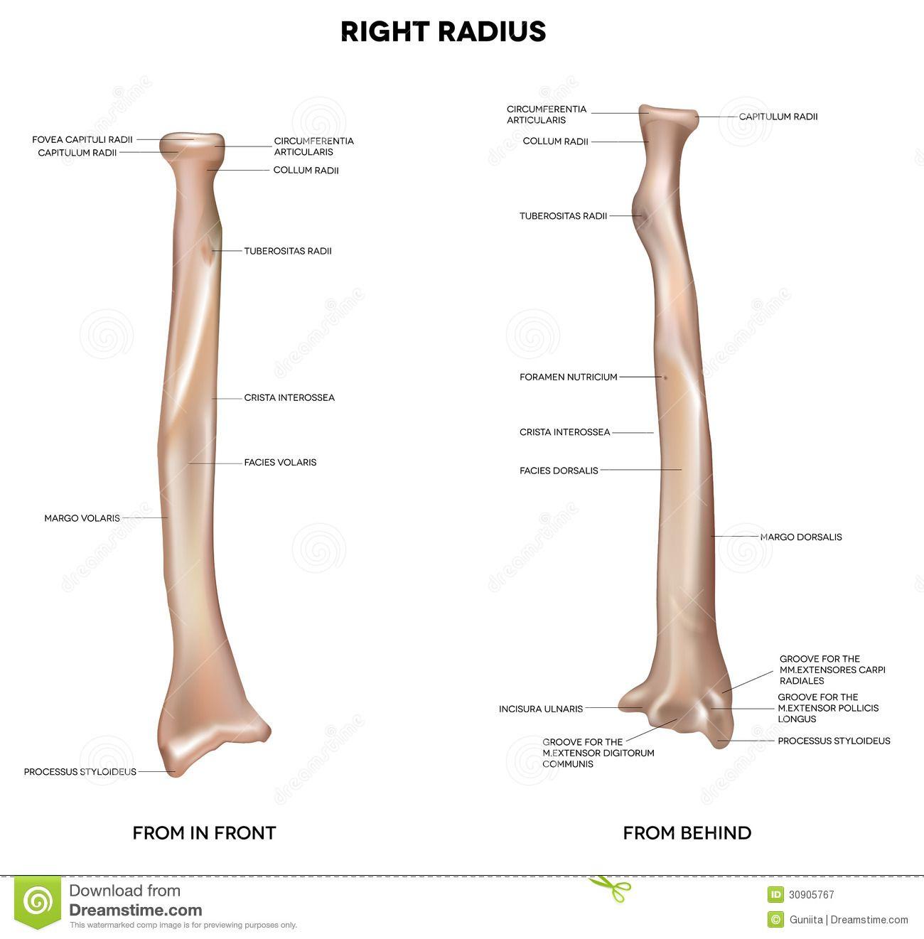 Radius Bone Markings
