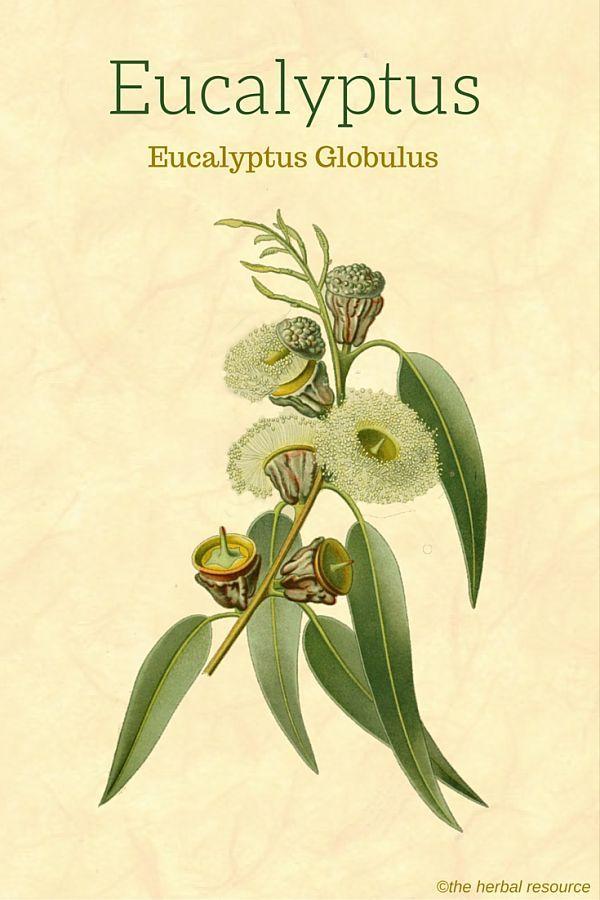 Eucalyptus Globulus Uses Health Benefits And Side Effects Herbalism Herbal Medicine Herbal Healing