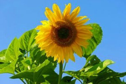 When To Plant Sunflower Seeds Garden Guides Come On Doves When To Plant Sunflowers Sunflower Seeds Plants